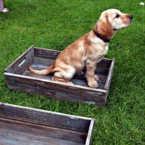 Labrador Vizsla Dog Parkour